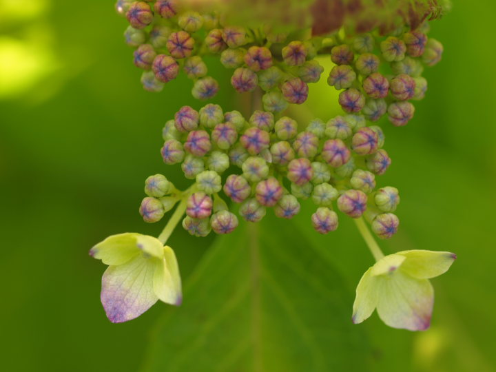 紫陽花の季節_e0169421_2222121.jpg