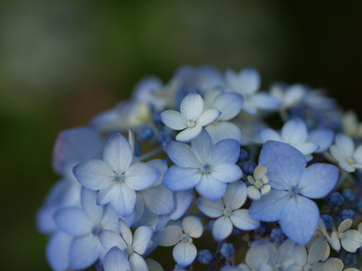 紫陽花の季節_e0169421_2231911.jpg