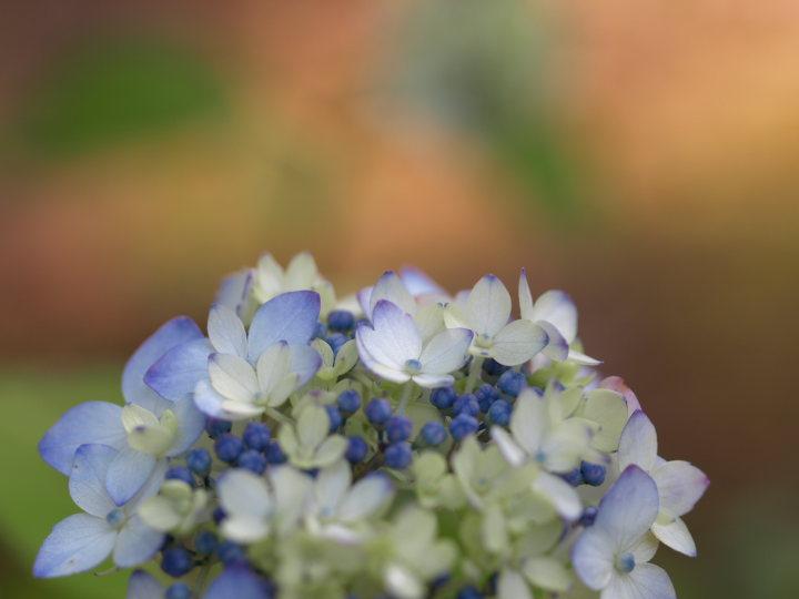紫陽花の季節_e0169421_225239.jpg