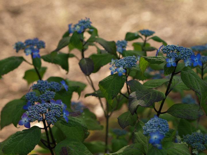 紫陽花の季節_e0169421_225427.jpg