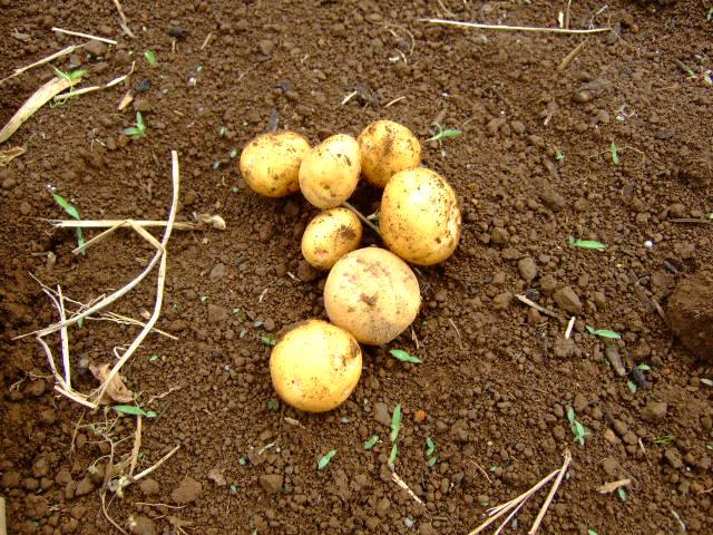 ジャガイモの成長は早い.....もう収穫!!_b0137932_16103520.jpg