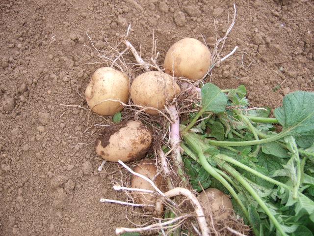 ジャガイモの成長は早い.....もう収穫!!_b0137932_1642437.jpg