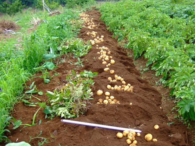 ジャガイモの成長は早い.....もう収穫!!_b0137932_16434899.jpg