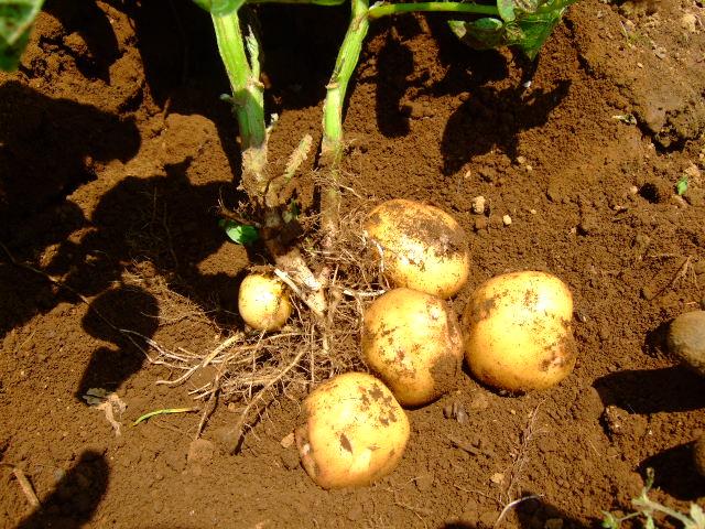 ジャガイモの成長は早い.....もう収穫!!_b0137932_1644942.jpg