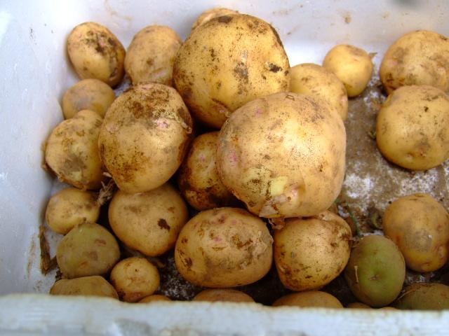 ジャガイモの成長は早い.....もう収穫!!_b0137932_1646247.jpg