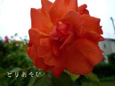 梅雨入り宣言_e0147757_1643640.jpg