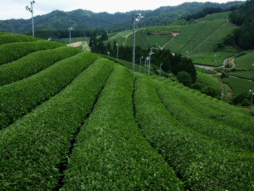 滋賀 オフ会 信楽茶畑 2_f0021869_2226040.jpg