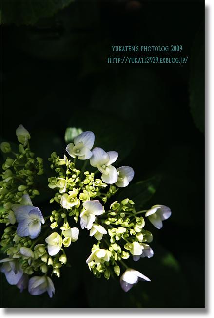 紫陽花2009 #2_c0136524_20323326.jpg