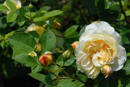 イングリッシュローズの花びら何枚?_d0129786_1322037.jpg