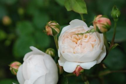 イングリッシュローズの花びら何枚?_d0129786_13454069.jpg