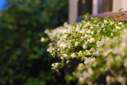 イングリッシュローズの花びら何枚?_d0129786_1453551.jpg