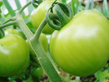庭に植えたトマト_f0136398_19431047.jpg
