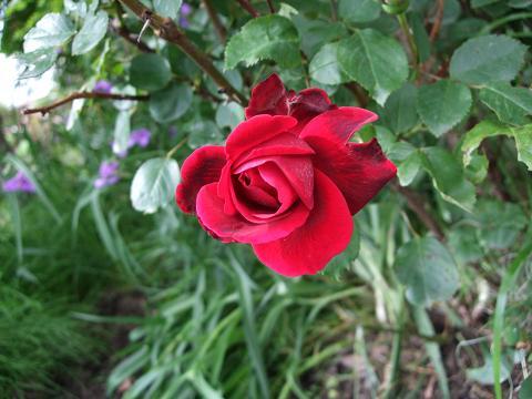 林の草取りと赤いバラ_e0012815_21183488.jpg