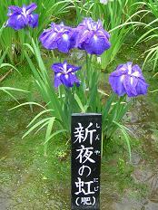 花菖蒲写真譜 その二_f0139963_2332159.jpg