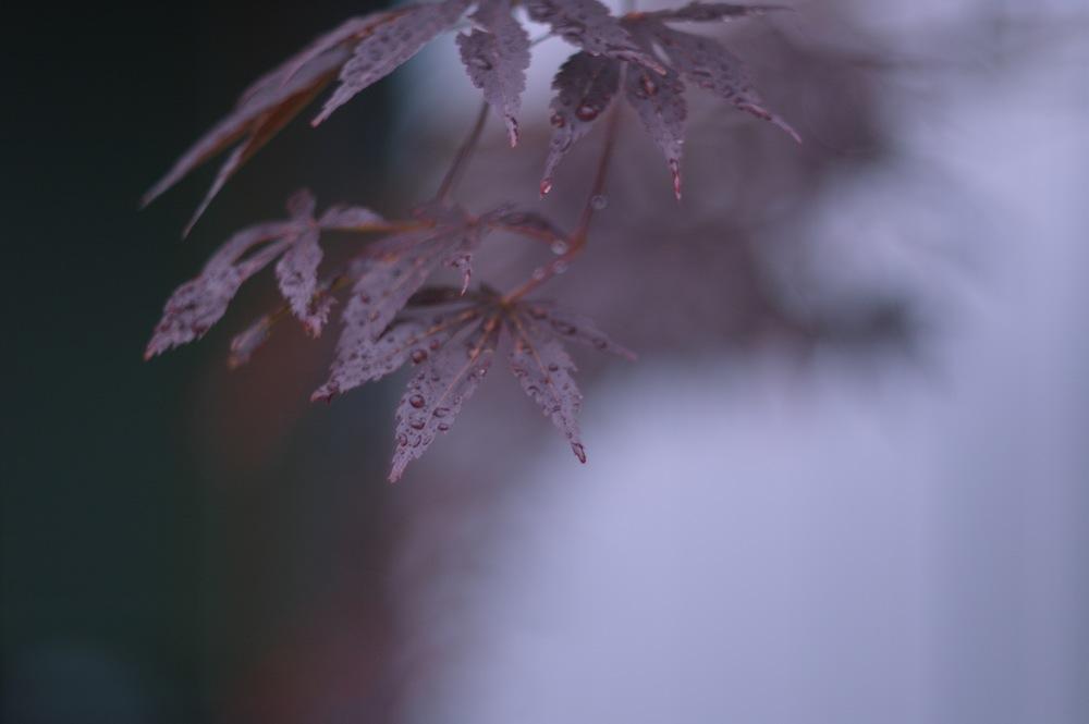 ズマレックスで雨の庭_f0042194_19162694.jpg