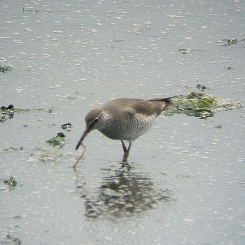 谷津干潟の鳥たち_e0089232_1933362.jpg
