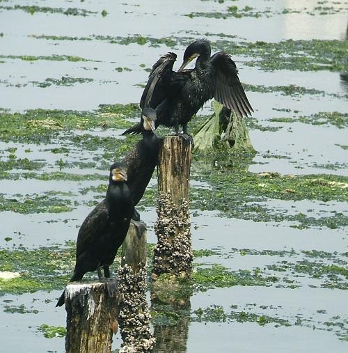 谷津干潟の鳥たち_e0089232_1984295.jpg