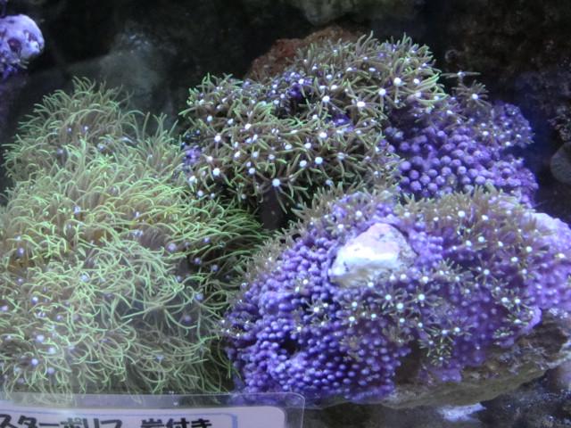 海水魚・サンゴ・水草・日本産淡水魚_f0189122_1446868.jpg