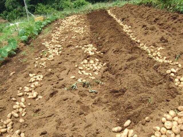 ジャガイモの収穫......大豊作!_b0137932_18242240.jpg