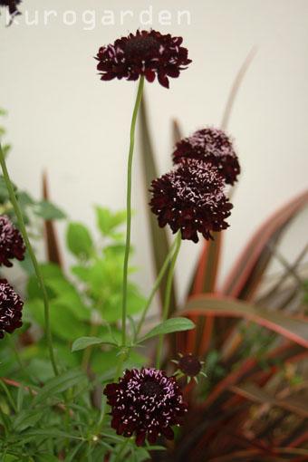 黒い花_e0119151_16352549.jpg