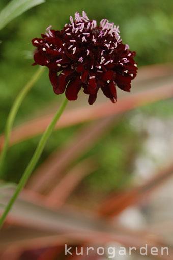 黒い花_e0119151_16353547.jpg