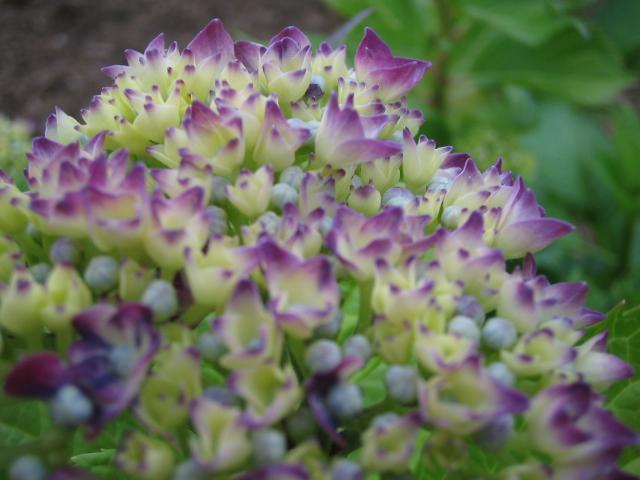 紫陽花は・・・_f0085369_20432734.jpg