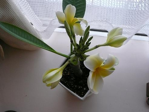 プルメリアが咲いた♪_f0186787_23261550.jpg