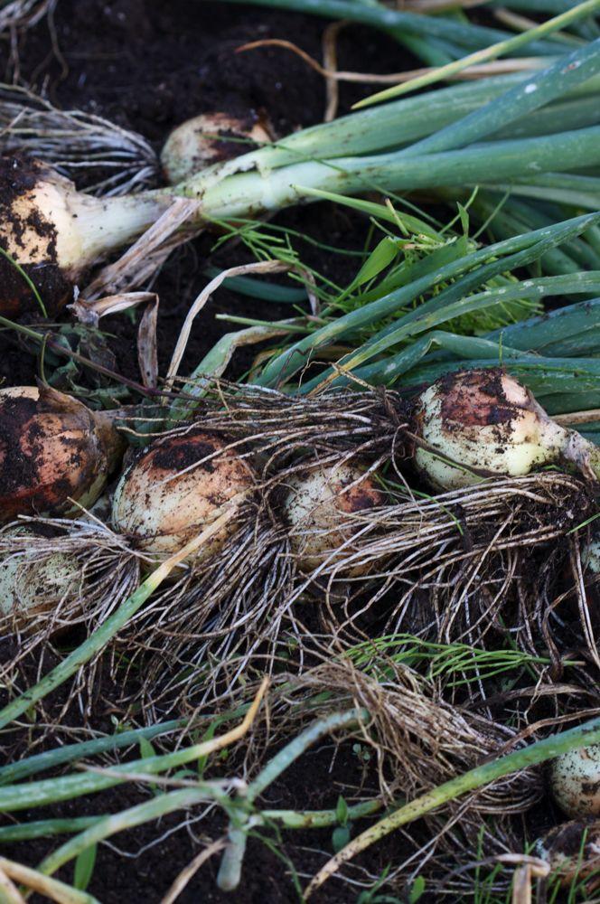 六月の畑の収穫、タマネギ、ジャガイモも収穫しました。_d0148902_21242238.jpg