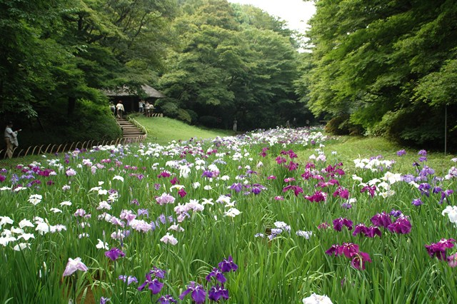 明治神宮の花菖蒲_f0012718_9513259.jpg
