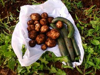家庭菜園 今日の収穫_e0173655_23233545.jpg