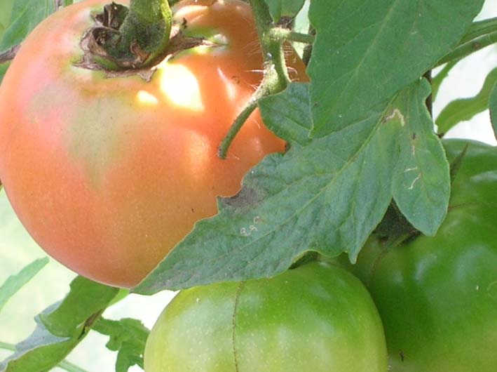 トマトを初収穫し、ジャガイモを試し掘り(09・6・17)_c0014967_18201033.jpg