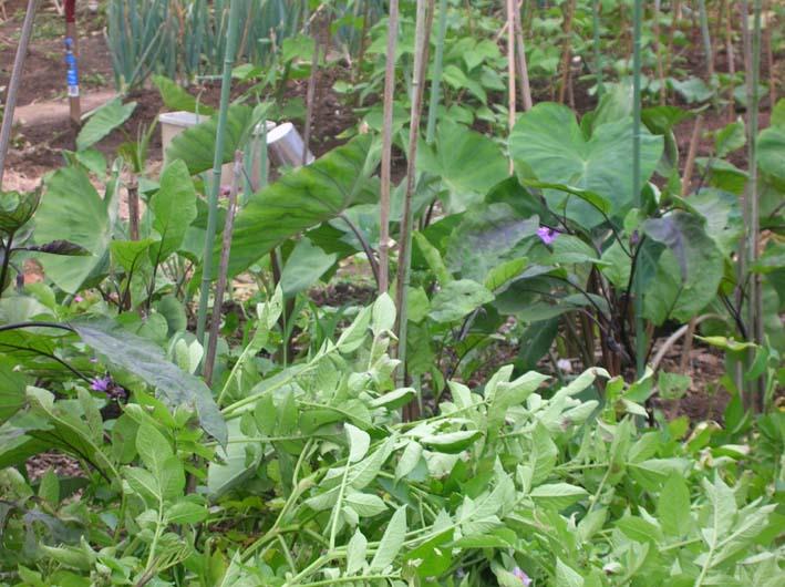 トマトを初収穫し、ジャガイモを試し掘り(09・6・17)_c0014967_18233164.jpg
