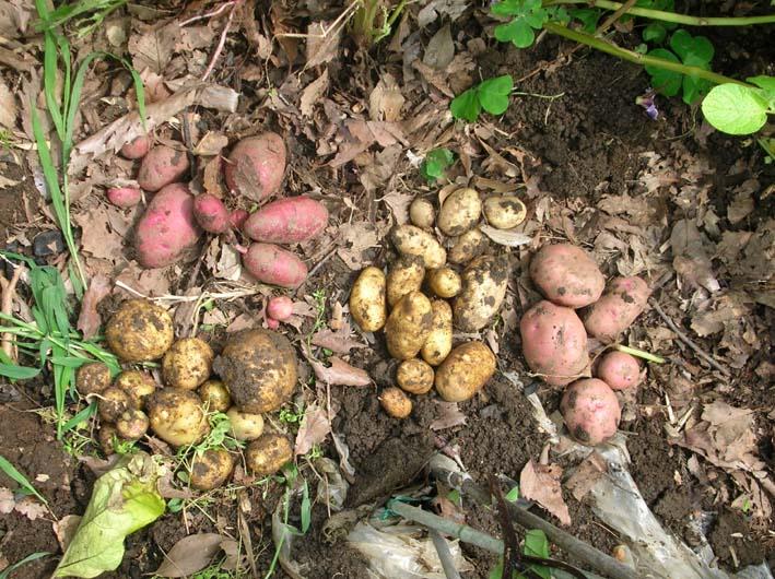 トマトを初収穫し、ジャガイモを試し掘り(09・6・17)_c0014967_1825197.jpg