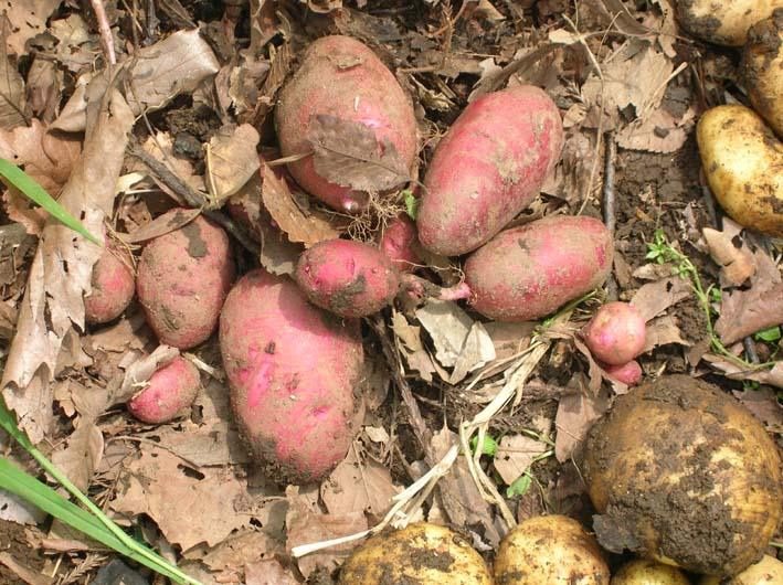 トマトを初収穫し、ジャガイモを試し掘り(09・6・17)_c0014967_18252254.jpg