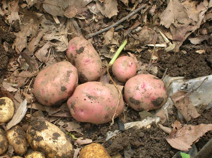 トマトを初収穫し、ジャガイモを試し掘り(09・6・17)_c0014967_18253611.jpg