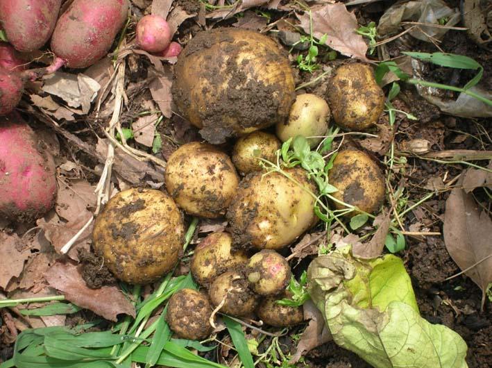 トマトを初収穫し、ジャガイモを試し掘り(09・6・17)_c0014967_18262465.jpg