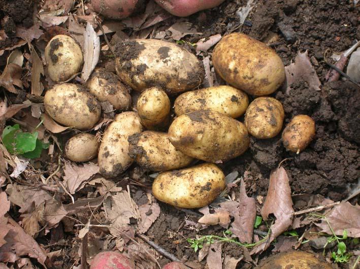 トマトを初収穫し、ジャガイモを試し掘り(09・6・17)_c0014967_1826413.jpg