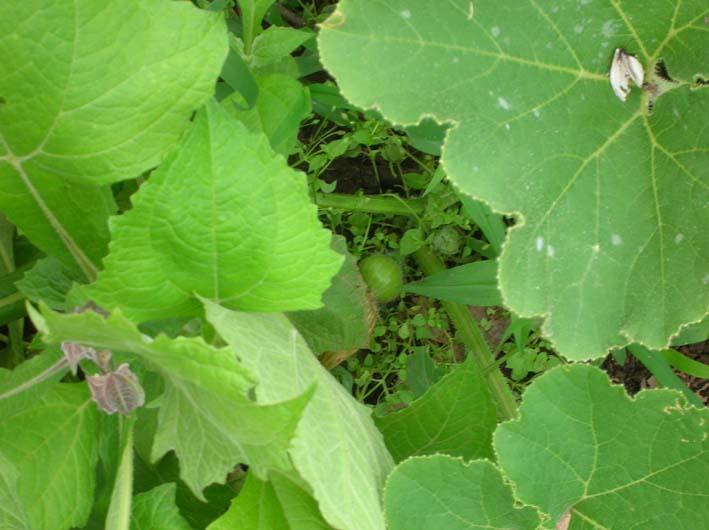トマトを初収穫し、ジャガイモを試し掘り(09・6・17)_c0014967_18271991.jpg