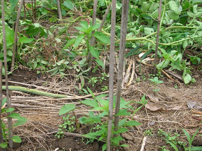 トマトを初収穫し、ジャガイモを試し掘り(09・6・17)_c0014967_18274496.jpg