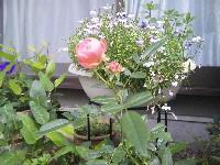 バラが咲いたど~_d0132878_1041180.jpg