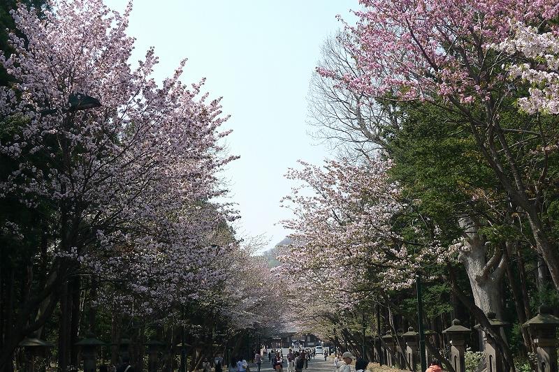 北海道神宮 桜_d0080785_94678.jpg