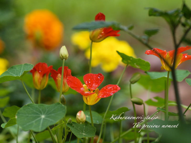 09/6/21   雨上がり庭の畑_c0137403_1620494.jpg