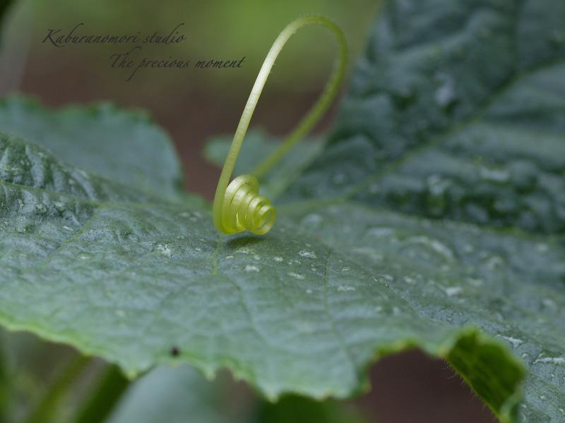 09/6/21   雨上がり庭の畑_c0137403_16214012.jpg