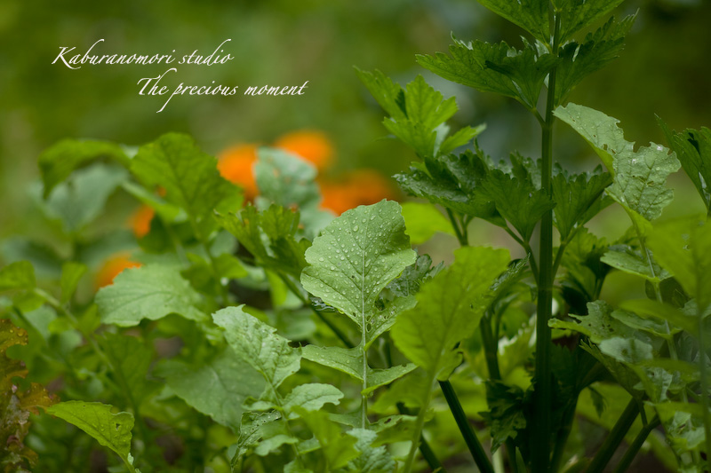 09/6/21   雨上がり庭の畑_c0137403_16225449.jpg