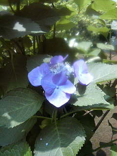 紫陽花の頃_a0075684_18305642.jpg
