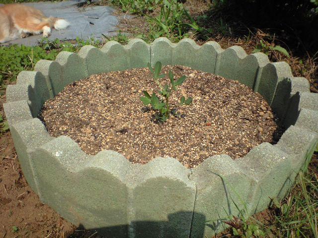 落花生を植えてみた_c0197684_16241120.jpg