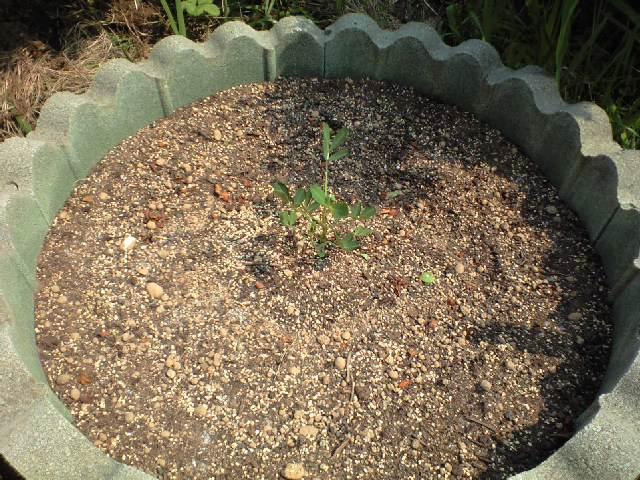 落花生を植えてみた_c0197684_16242827.jpg