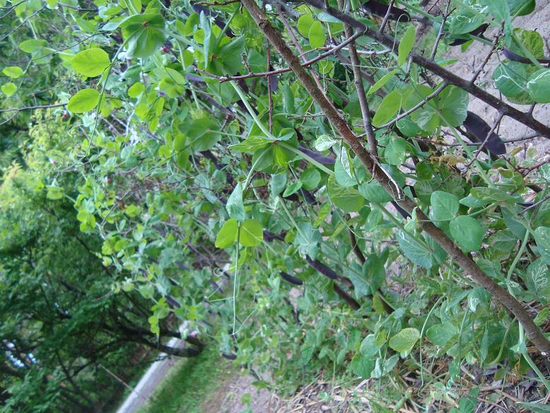 梅と紫陽花、トマトにエンドウ。_c0107612_13375145.jpg