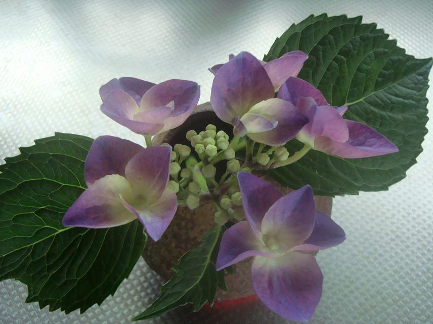 梅と紫陽花、トマトにエンドウ。_c0107612_13383319.jpg