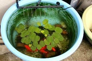 金魚鉢の水の入れ替え_e0166355_1244259.jpg